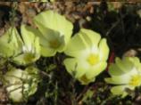 Pietsnot - Grielum Humifusum
